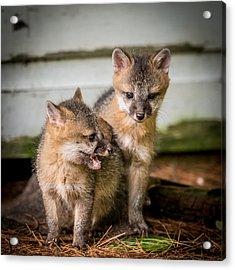 Twin Fox Kits Acrylic Print by Paul Freidlund