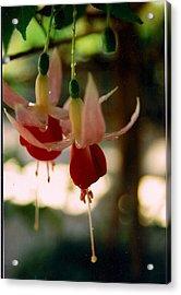 Twin Fuchsias Acrylic Print by Robert Bray