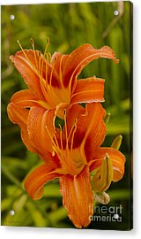 Twin Orange Trumpet Lilies Acrylic Print