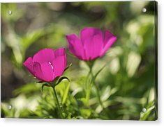Acrylic Print featuring the photograph Twin Poppies - Poppy Mallow Art Print by Jane Eleanor Nicholas