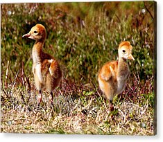 Acrylic Print featuring the photograph Twin Sandhill Chicks 000  by Chris Mercer