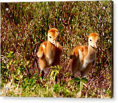 Acrylic Print featuring the photograph Twin Sandhill Chicks by Chris Mercer