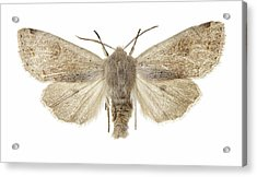 Twin-spotted Quaker Moth Acrylic Print by Science Photo Library
