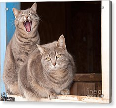 Twin Tabbies Acrylic Print