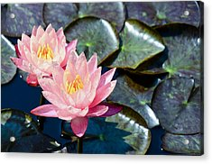 Two Pink Waterlilies Acrylic Print