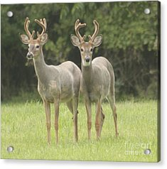 Twin Young Bucks Acrylic Print