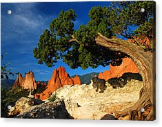 Twisted Juniper At The Garden Acrylic Print by John Hoffman