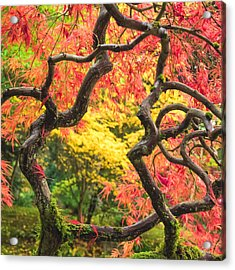 Twisted Maple Acrylic Print