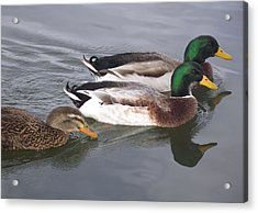 Two-and-a-half Ducks Acrylic Print by Mike and Sharon Mathews