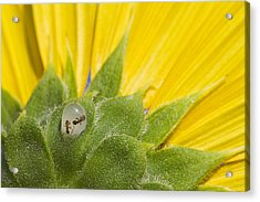 Two Ants Entombed In Sunflower Resin Acrylic Print