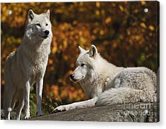 Acrylic Print featuring the photograph Two Arctic Wolves On Rock Hill by Wolves Only