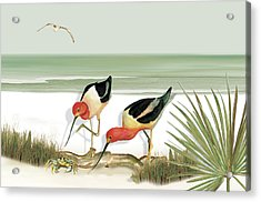 Two Avocets Acrylic Print by Anne Beverley-Stamps