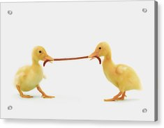 Two Baby Ducklings Fighting Acrylic Print by Thomas Kitchin & Victoria Hurst