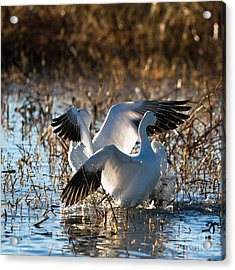 Two Backlit Snow Geese Acrylic Print