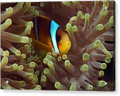 Two-banded Anemonefish Red Sea Egypt Acrylic Print