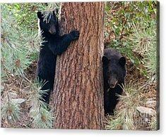 Two Bears Acrylic Print
