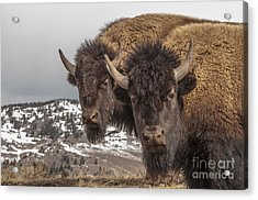 Two Bison Acrylic Print