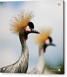 Two Black Crowned Cranes Acrylic Print