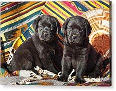 Two Black Labrador Retriever Puppies Acrylic Print
