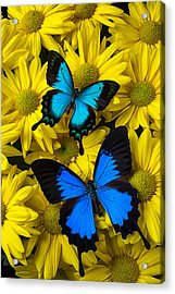Two Blue Butterflies Acrylic Print by Garry Gay