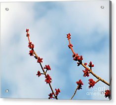 Two Budding Branches Acrylic Print by CML Brown