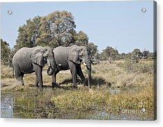 Two Bull African Elephants - Okavango Delta Acrylic Print