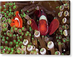 Two Clownfish (amphiprion Ocellaris Acrylic Print