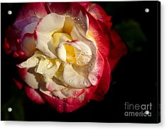 Two Color Rose Acrylic Print by David Millenheft