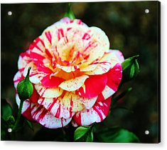 Two Colored Rose Acrylic Print