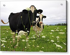 Two Cows In A Field Acrylic Print