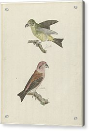 Two Crossbills, Possibly Christiaan Sepp Acrylic Print