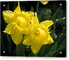 Acrylic Print featuring the photograph Two Daffodils by Kathy Barney