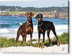 Two Doberman Pinschers At Carmel Beach Acrylic Print by Zandria Muench Beraldo