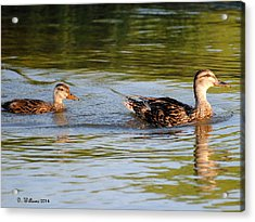 Two Ducks Swimming Acrylic Print by Dan Williams