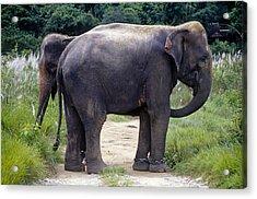 Two Elephants Acrylic Print