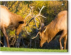 Two Elk Bulls Sparring Acrylic Print by James BO  Insogna