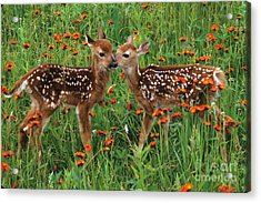 Two Fawns Talking Acrylic Print by Chris Scroggins