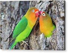 Two Fischer's Lovebirds (agapornis Acrylic Print