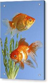 Two Fish Fs101 Acrylic Print by Greg Cuddiford