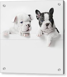 Two French Bulldog Puppies Peer Over A Acrylic Print by Andrew Bret Wallis