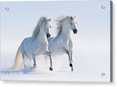 Two Galloping Snow-white Horses Acrylic Print by Abramova_Kseniya