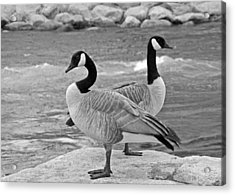Two Geese In Black And White Acrylic Print