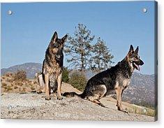 Two German Shepherds Sitting On A Rock Acrylic Print by Zandria Muench Beraldo