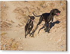 Two German Shorthaired Pointers Running Acrylic Print