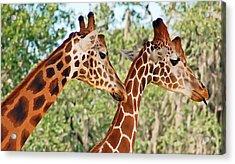 Two Giraffes Acrylic Print