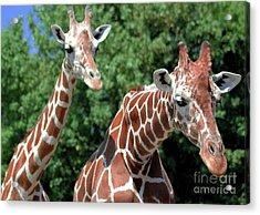 Two Giraffes Acrylic Print by Kathleen Struckle