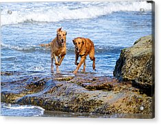 Two Golden Retriever Dogs Running On Beach Rocks Acrylic Print