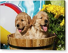 Two Golden Retriever Puppies Sitting Acrylic Print by Zandria Muench Beraldo