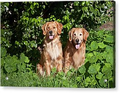 Two Golden Retrievers Sitting At A Park Acrylic Print