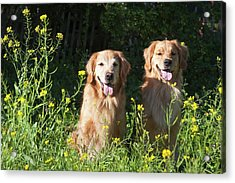 Two Golden Retrievers Sitting Together Acrylic Print